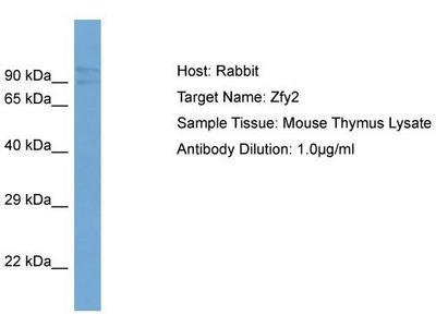 Rabbit Polyclonal Anti-Zfy2 Antibody