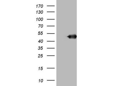 BNIP2 mouse monoclonal antibody, clone OTI1C12 (formerly 1C12)