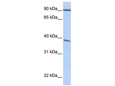 Rabbit Polyclonal Anti-POPDC3 Antibody