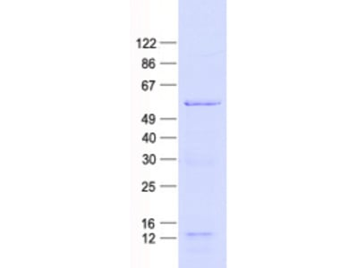 Purified recombinant protein of Human activating transcription factor 2 (ATF2), full length, with N-terminal HIS tag, expressed in E.Coli, 50ug