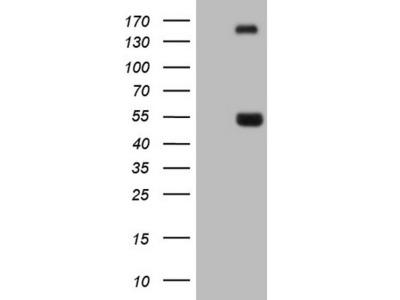 NPTX1 mouse monoclonal antibody, clone OTI5G9 (formerly 5G9)
