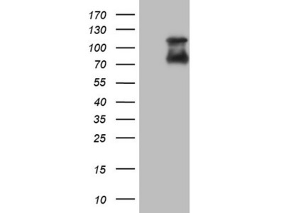 NR4A3 mouse monoclonal antibody, clone OTI1C1 (formerly 1C1)