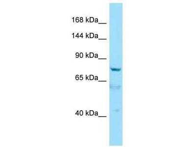 Rabbit Polyclonal Anti-AKNA Antibody