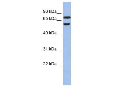 Rabbit Polyclonal Anti-GNL3L Antibody - N-terminal region