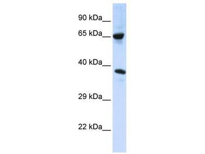 Rabbit Polyclonal anti-C6orf134 antibody