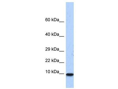 Rabbit Polyclonal Anti-PCBD1 Antibody