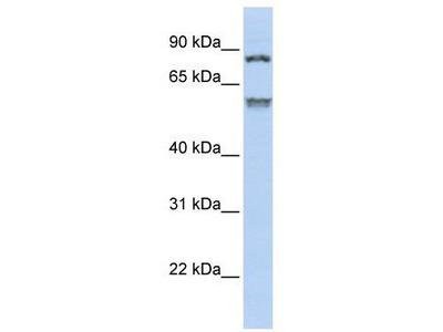 Rabbit Polyclonal Anti-TRIM50 Antibody