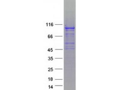 SLFN5 (NM_144975) Human Mass Spec Standard