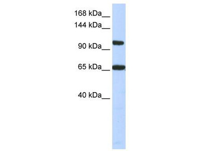 Rabbit Polyclonal Anti-THRAP3 Antibody