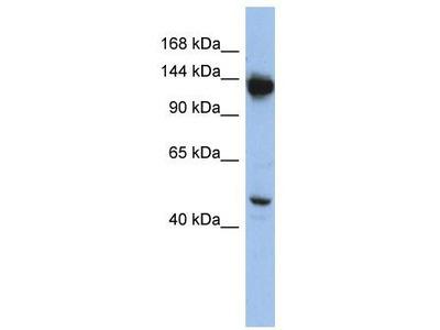 Rabbit Polyclonal Anti-NRD1 Antibody - middle region