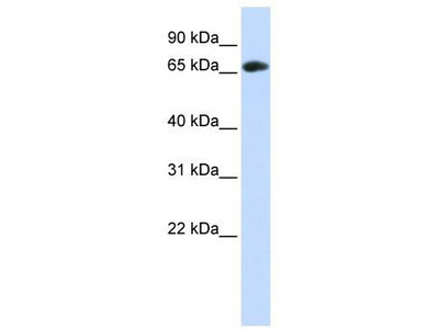 Rabbit Polyclonal Anti-DCAF4 Antibody
