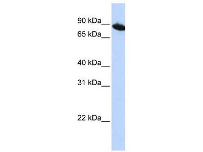 Rabbit Polyclonal Anti-ZNF780A Antibody