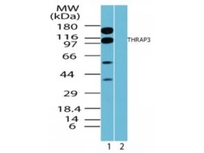 Rabbit Polyclonal THRAP3 Antibody