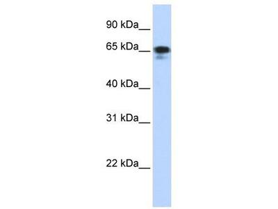 Rabbit Polyclonal Anti-ZNF276 Antibody