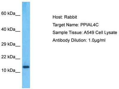 Rabbit Polyclonal Anti-PPIAL4C Antibody
