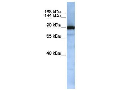 Rabbit Polyclonal Anti-XPOT Antibody