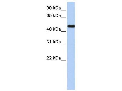 Rabbit Polyclonal Anti-NR2F1 Antibody