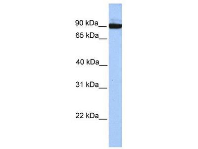 Rabbit Polyclonal Anti-PCDH17 Antibody