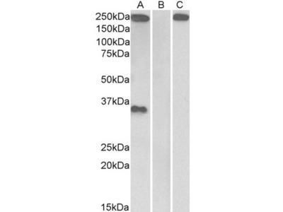 Goat Anti-THBS1 Antibody