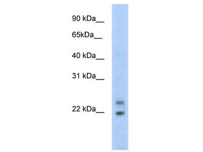 Rabbit polyclonal anti-C330003B14RIK antibody