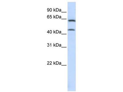 Rabbit Polyclonal Anti-ChGn Antibody