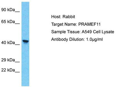 Rabbit Polyclonal Anti-PRAMEF11 Antibody
