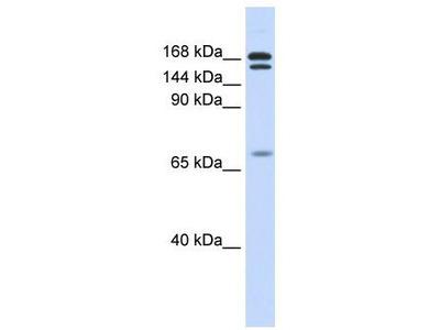 Rabbit Polyclonal Anti-CUX2 Antibody