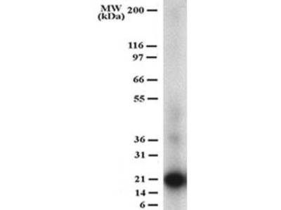Mouse Monoclonal TRANCE/TNFSF11/RANK L Antibody (12A380)