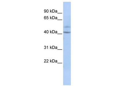 Rabbit Polyclonal Anti-SPATC1 Antibody