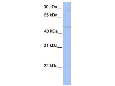 Rabbit polyclonal Anti-TMTC2 Antibody