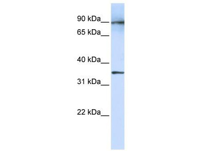 Rabbit polyclonal Anti-LRRC59 Antibody