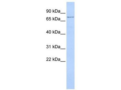 Rabbit Polyclonal Anti-TMEM57 Antibody