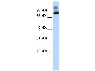 Rabbit Polyclonal Anti-SIX4 Antibody