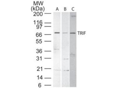 Rabbit Polyclonal TRIF/TICAM1 Antibody