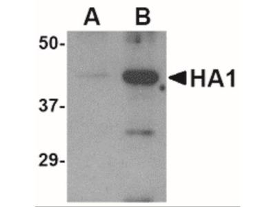 Avian Influenza Hemagglutinin Antibody