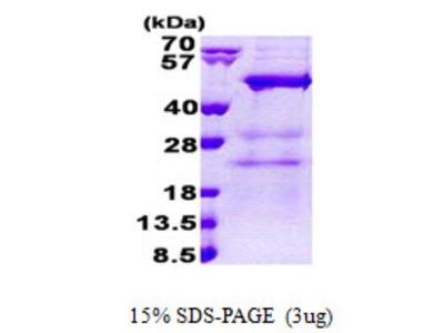 MAK3 Protein
