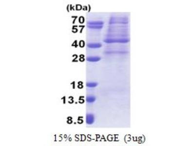 AMPK gamma 1 Recombinant Protein