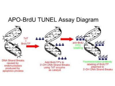 APO-BRDU (TUNEL) Apoptosis Kit