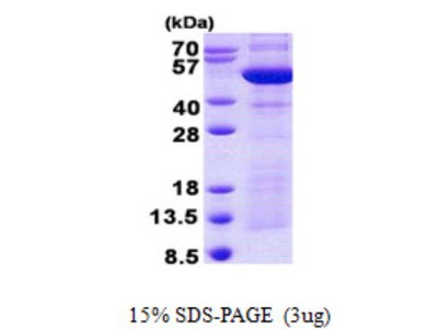 Synaptotagmin 4 Protein