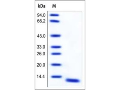 Human S100A8 protein
