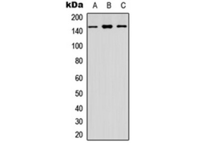 CYFIP1 antibody