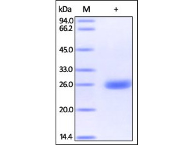 Human PGP9.5 protein