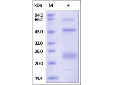 Human ADAM12 protein