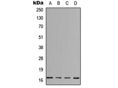 IL-3 antibody