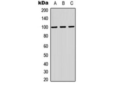 MAG antibody