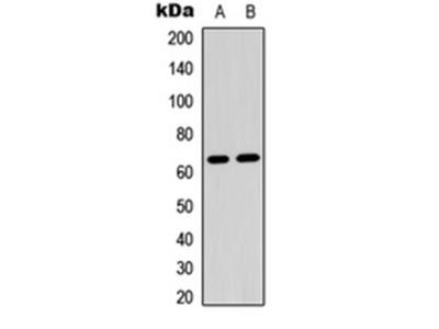 CRMP2 (phospho-S522) antibody