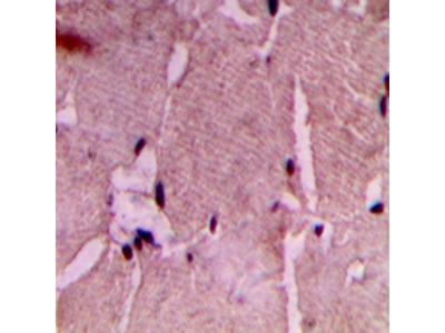 COX7A2/3 antibody