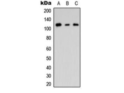 CNK2 antibody