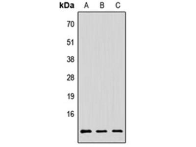 PAGE3 antibody