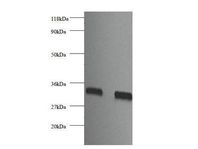 Heparin-binding growth factor 2 antibody